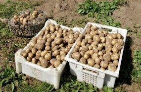 Выращивание картофеля на предприятии